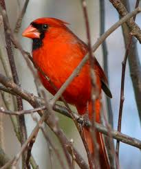 northerncardinal1.jpg